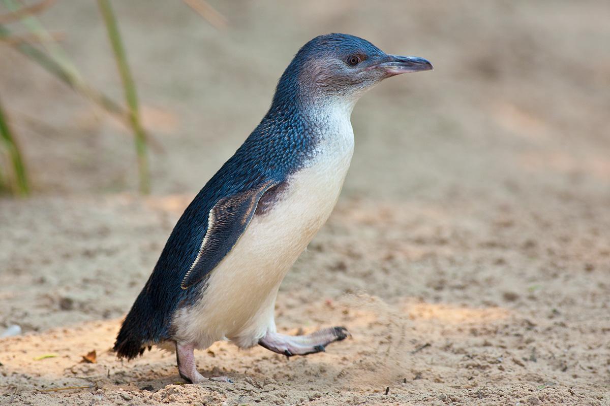 mbt6_penguins_direct_03.jpg