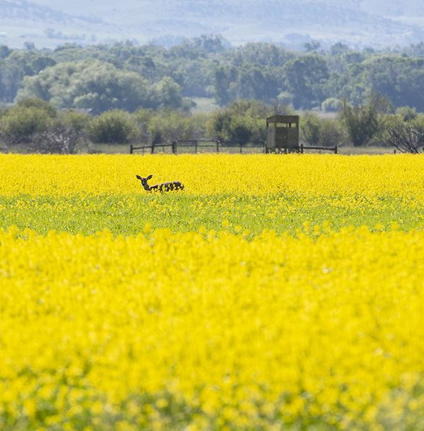 deer yellow.jpg