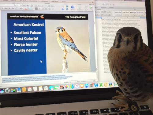 Finley preparing for his presentation for our American Kestrel Partnership!