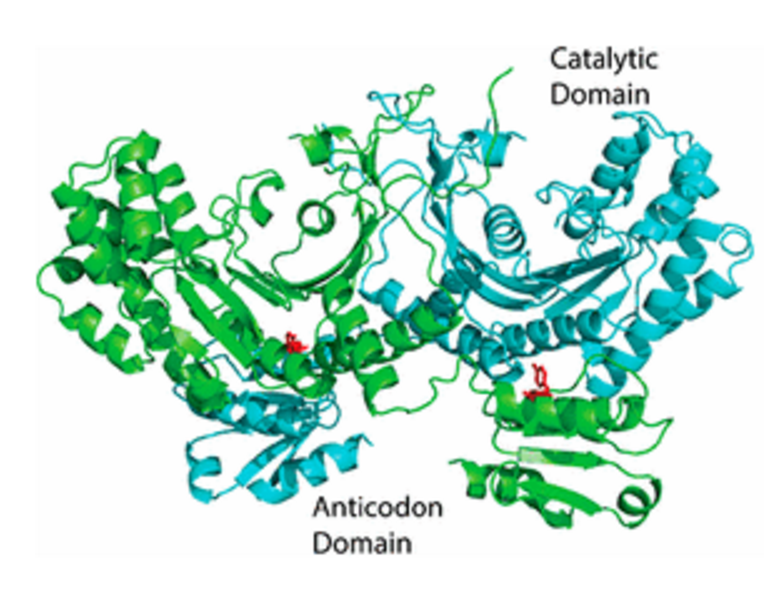 A 3D model of the HARS enzyme, including the catalytic site (where the reaction occurs) and the anticodon site (the part that starts protein synthesis through RNA transcription).