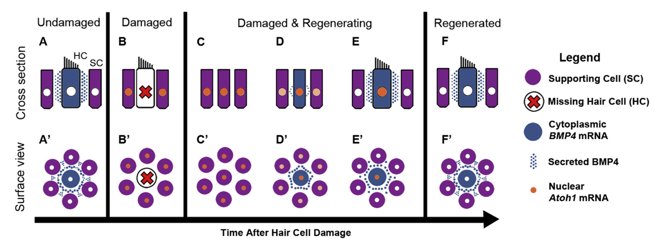 This schematic depicts our current ideas for how BMP4 regulates ATOH1 expression and therefore hair cell regeneration in the avian hearing organ. It shows (from left) typical hair cells, hair cell damage, and hair cell regeneration. Typical hair cells secrete BMP4. When hair cells die, BMP4 signaling is reduced, which allows ATOH1 to be expressed in supporting cells and pushes supporting cells to turn into hair cells. The newly regenerated hair cells secrete BMP4, suppressing ATOH1 in supporting cells and restoring the normal condition.