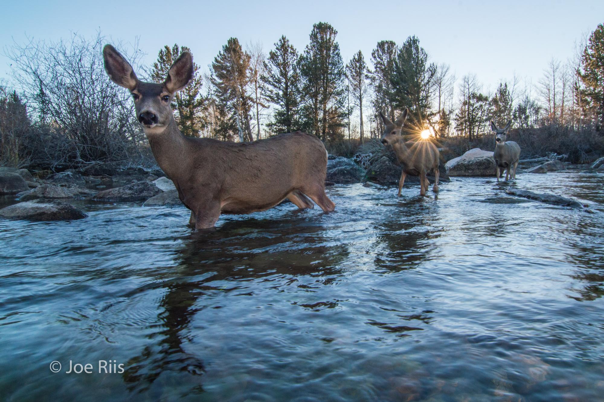 JoeRiis - Deer1.jpg