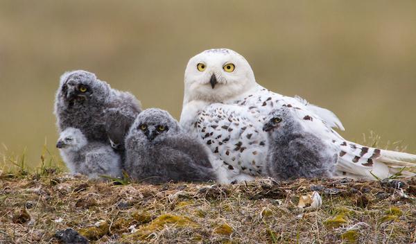 Snowy_Owl_1813_(10-20-08)_at_nest.jpg