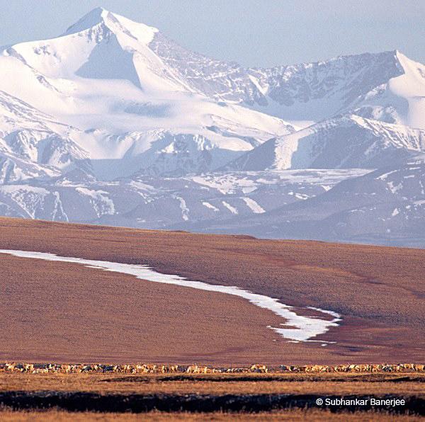 Porcupine caribou graze w calves, coastal plain, Mt Michelson_Banerjee.jpg