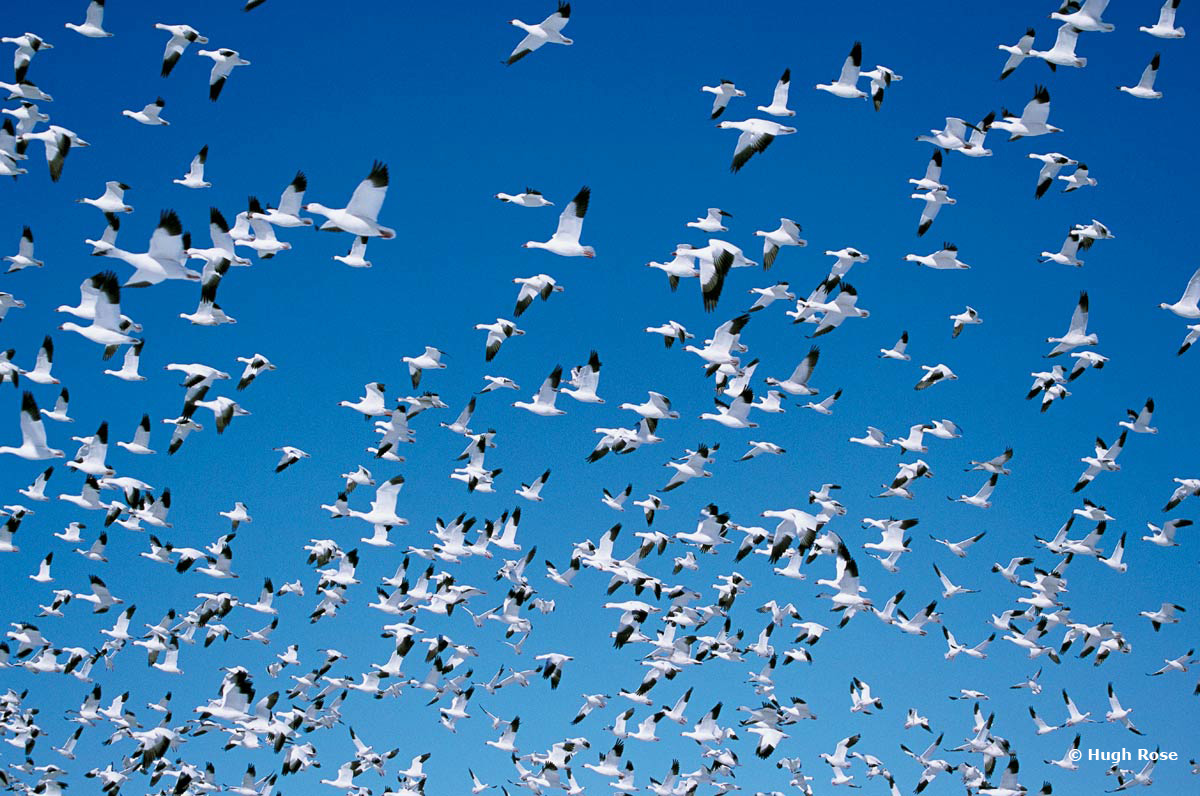 Snow Geese_Hugh Rose_WEB.jpg