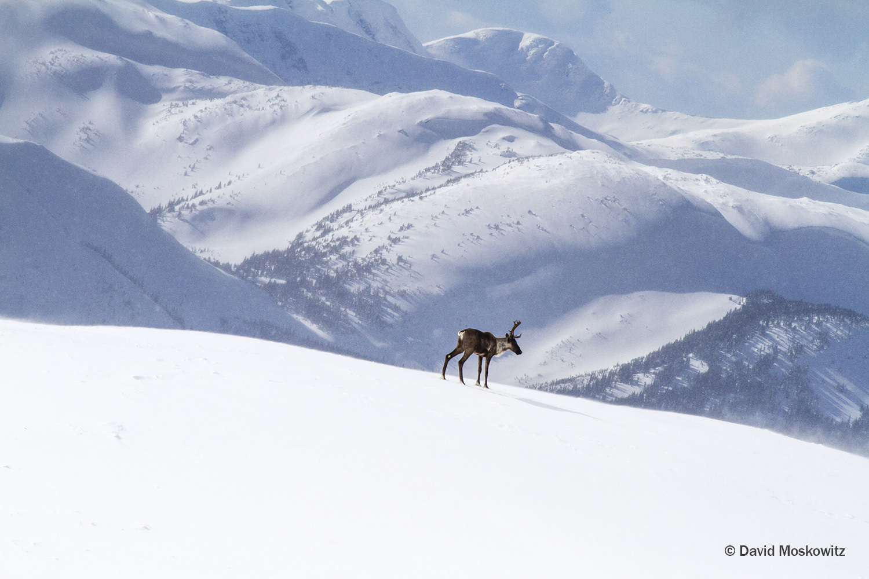 Caribou Snow.jpg