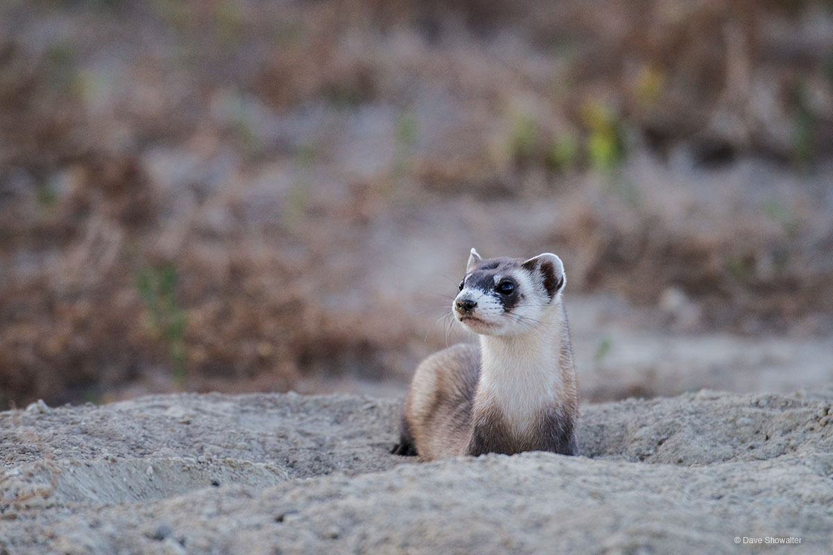 Black-footed Ferret on Burrow