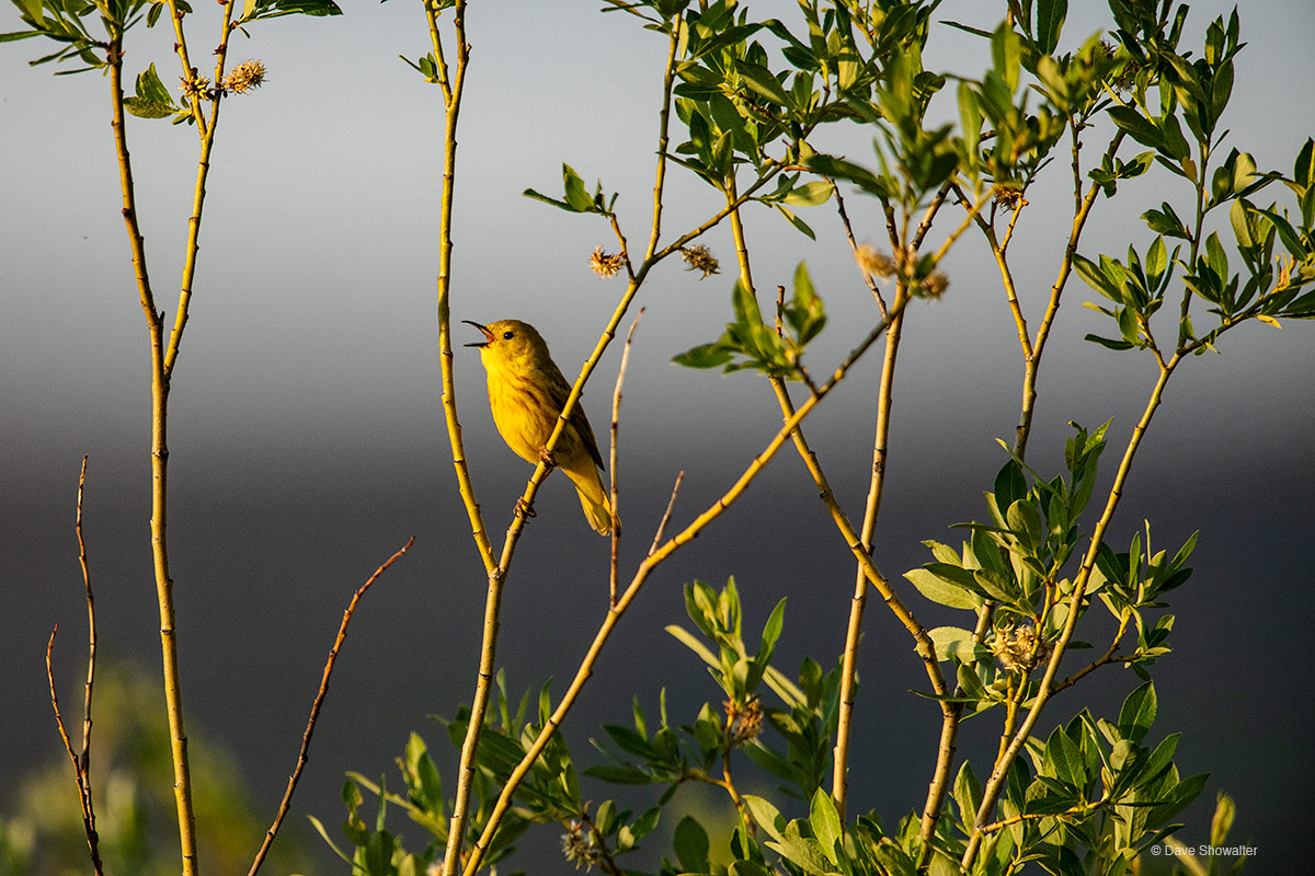 Yellow Warbler Song
