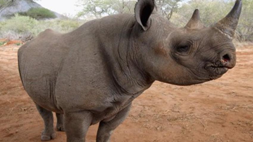 næsehorn.jpg
