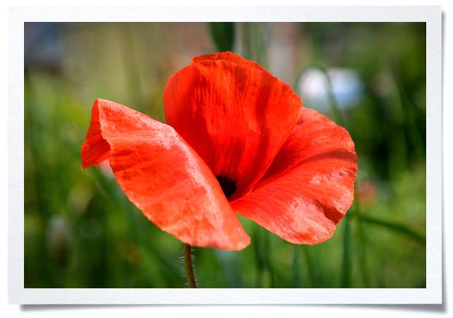 Frame-Poppy.jpg