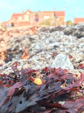 Den gula snäckan på stranden vid Morgonbryggan i Torekov