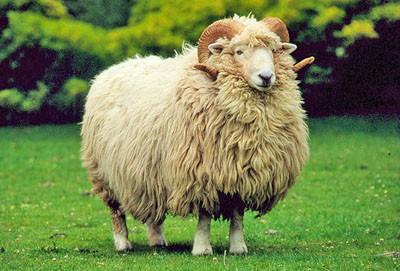 drysdale sheep.jpg