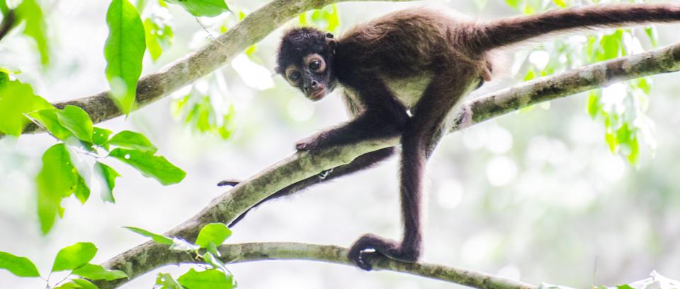 Spider monkey in Runaway Creek, Belize