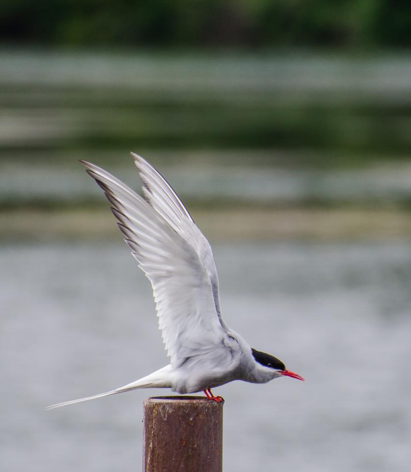 Arctic tern, Anchorage, Alaska.