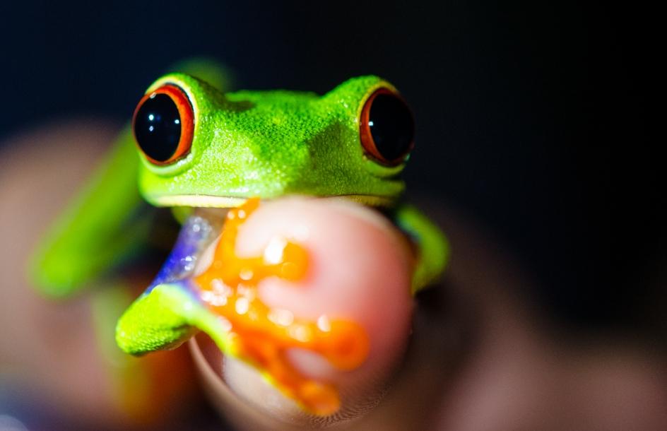 Red-eyed tree frog, La Selva Biological Station, Costa Rica