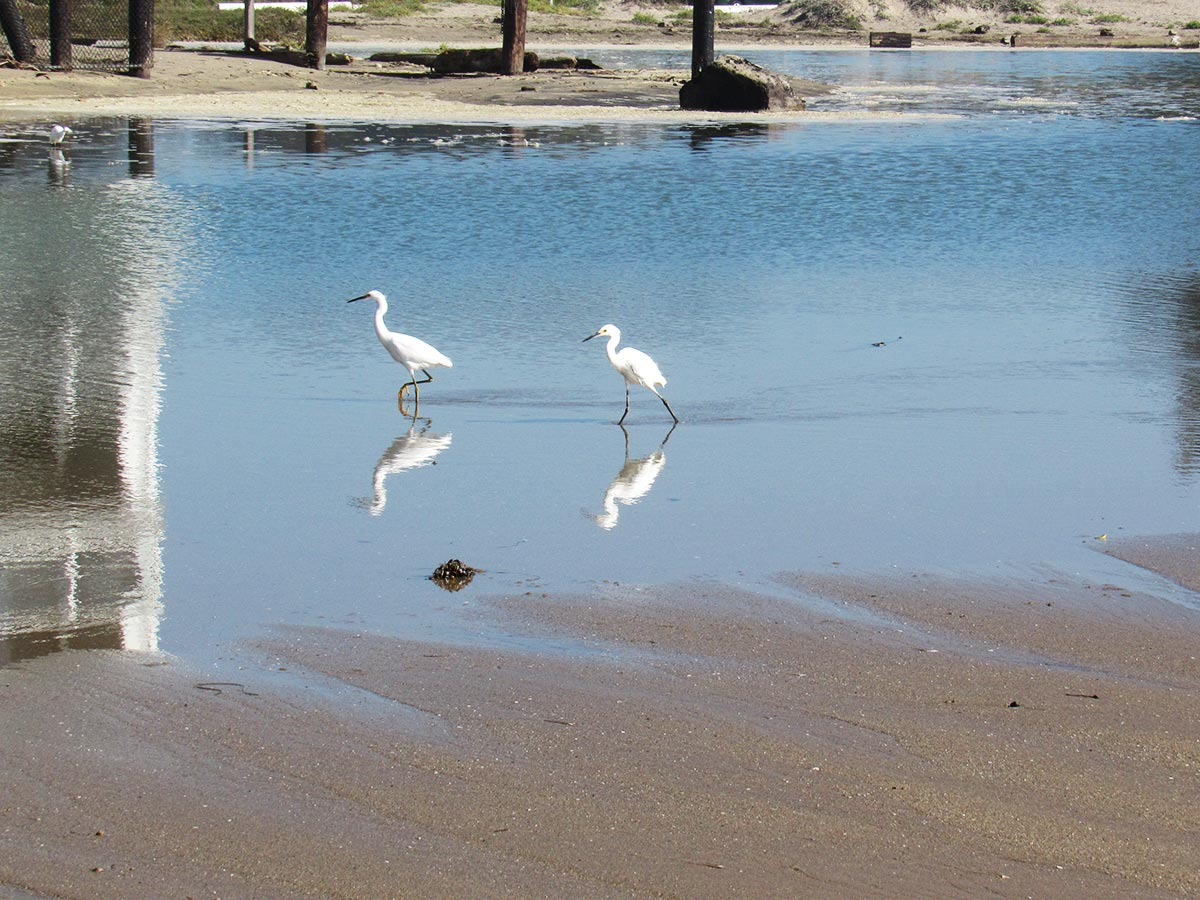 egrets-1.jpg