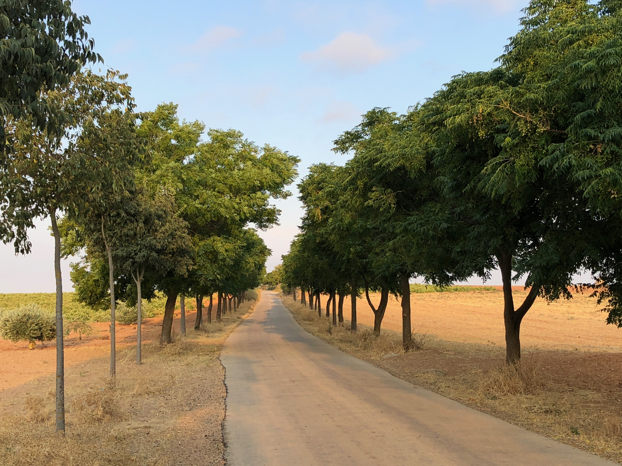 SYRANGA TREES LINING THE ENTRANCE TO EL TOBOSO, STOPPED HERE FOR COFFEE, 2 1/2 HOURS WALKING