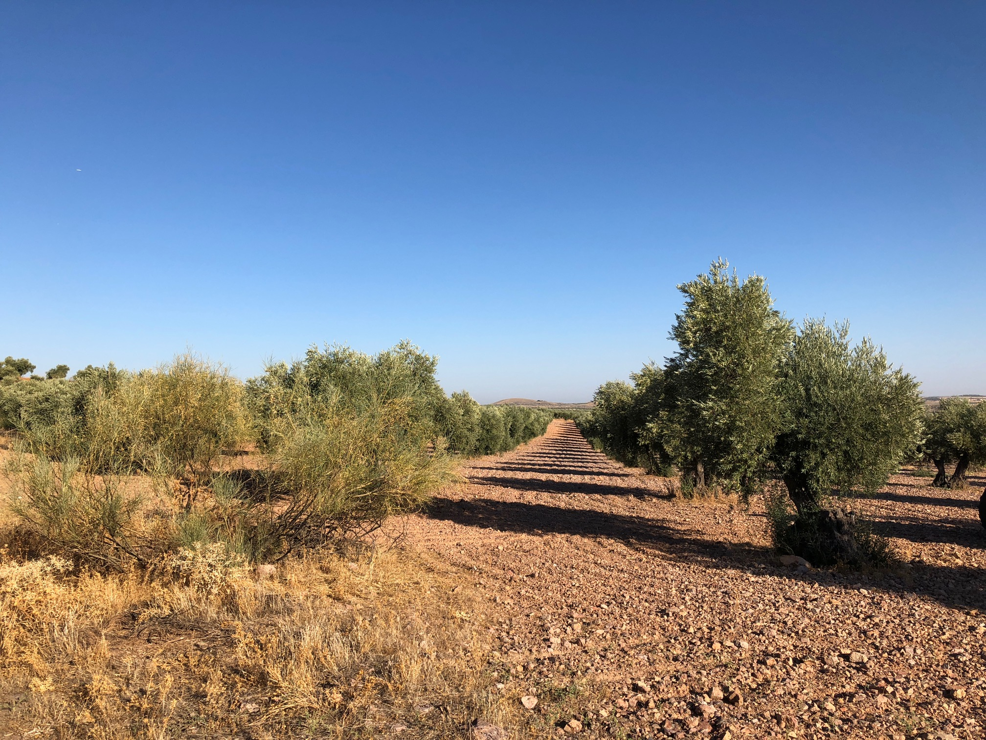 OLIVE GROVES AS FAR AS I COULD SEE
