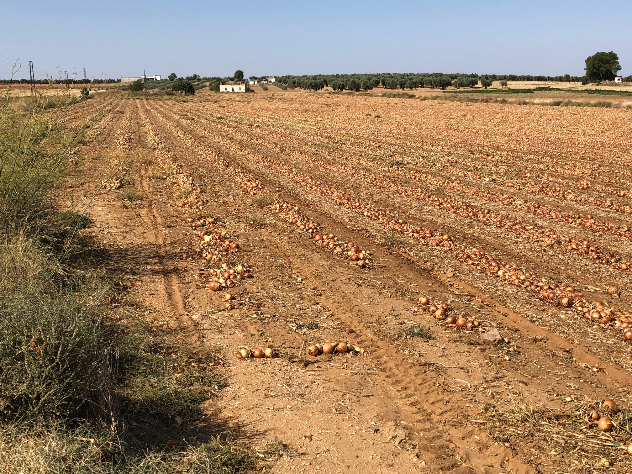 ONION FIELD AND AROMA