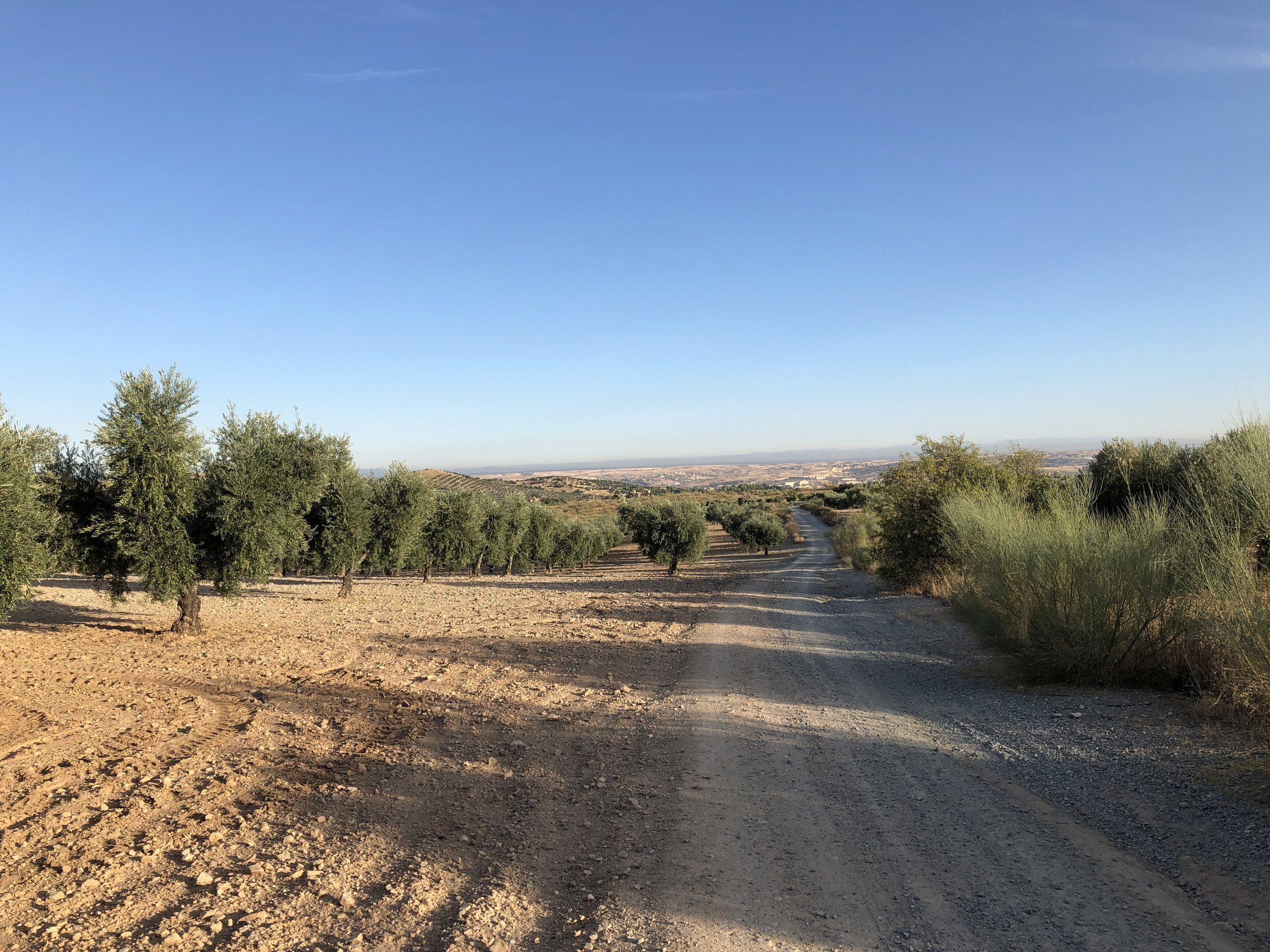 Copy of Olive trees, with Toledo in the distance.