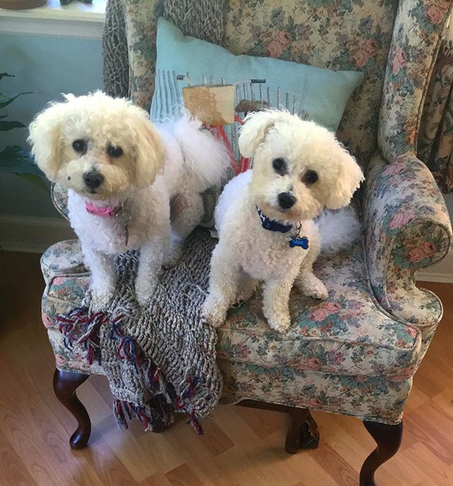Wishing these lovely snowballs a happy Wednesday 😘 #maxandruby #ollieissomewhere #dogsarebetterthenpeople...especiallynewyorkers 🐩🐩