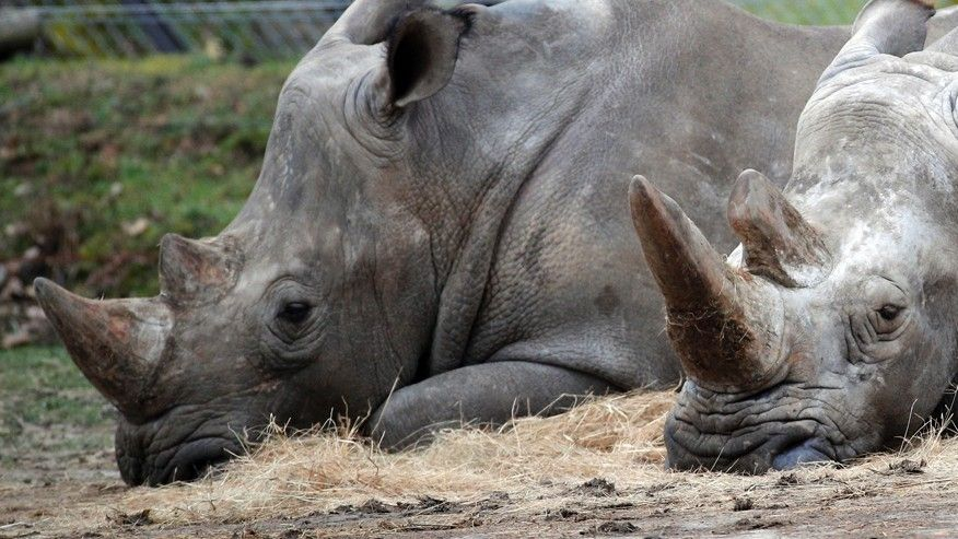 Bruno, left, and Gracie, two rhinoceroses, rest at the Thoiry Zoo, near Paris, France.  (AP)