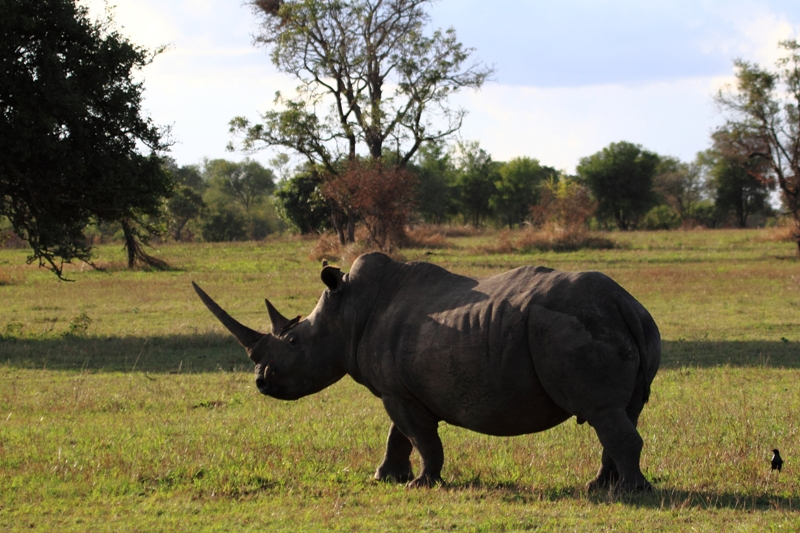 Black Rhinoceros supported by Rhino The Game