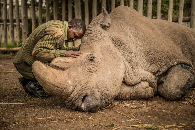 Jospeh Wachira, 26, comforts Sudan, the last male Northern White Rhino on the planet, moments before he passed away.  Ami Vitale—National Geographic Creative