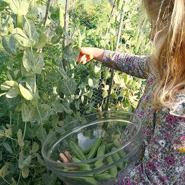 There is something so grounding and humbling about being able to pick the vegetables you're going to eat. We are at their Nana's house and they get to go and 'harvest' their supper. . . . Do you garden with your Little Feet? What do they like to plant if you do? We haven't done food yet, but the flowers we planted give the girls so much pleasure that I'm considering moving onto vegetables with them. Any tips? . . . #homegrown #peas #teachthemyoung #ourearth #outdoorkids #gardeningwithkids #gardeningwithchildren #grounding #therainbowtreeblog #seasonalvegetables #mothernature #parenthood #simpleliving