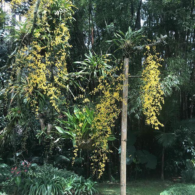 En mi casa el amarillo está de moda. Regalo de madres de la madre de todos: la naturaleza!! #mijardin #floresamarillas #orquideas #guayacanes #flordecalabaza #anaisabeldiezartista
