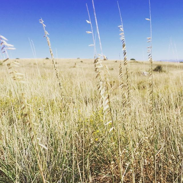Collecting this great grass with the @quiviracoalition at Red Canyon Reserve today. Can you name it? #nativeplants #nativeseed #nativegrass