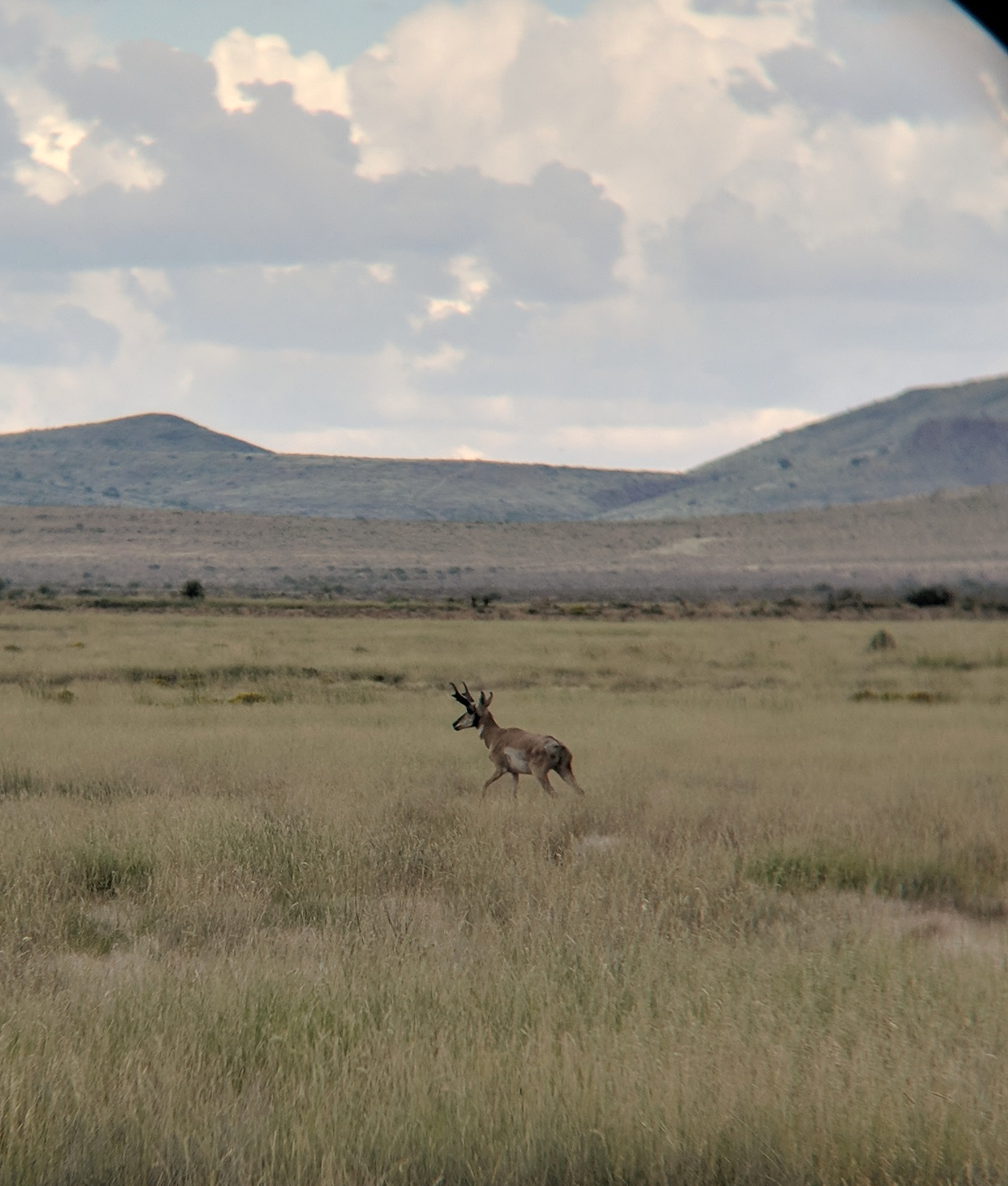 A Pronghorn runs through a field of tobosagrass as storm clouds gather on the horizon (photo by Christina Partipilo).