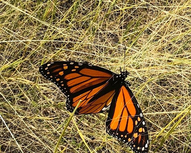 Milkweeds best friend, the monarch. . Photo by @mountain_cranberry . . . . . . #milkweed #asclepias #milkweedformonarchs #nativeplants #nativeplants #seedcollector #seedcollecting #nationalwildliferefuge #southwest #newmexico #monarchbutterfly #monarch #butterfly #nativebutterfly