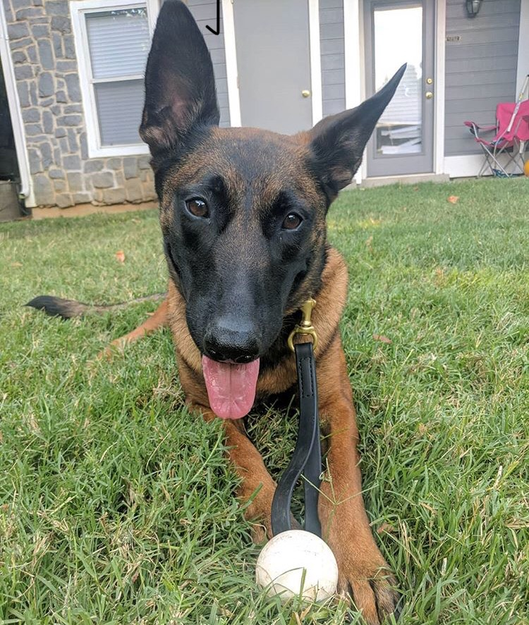 Wicked Phoenix loves the durability of the K9X Ball! As a Malnois, she goes through A LOT of toys... Finally, she met her match!