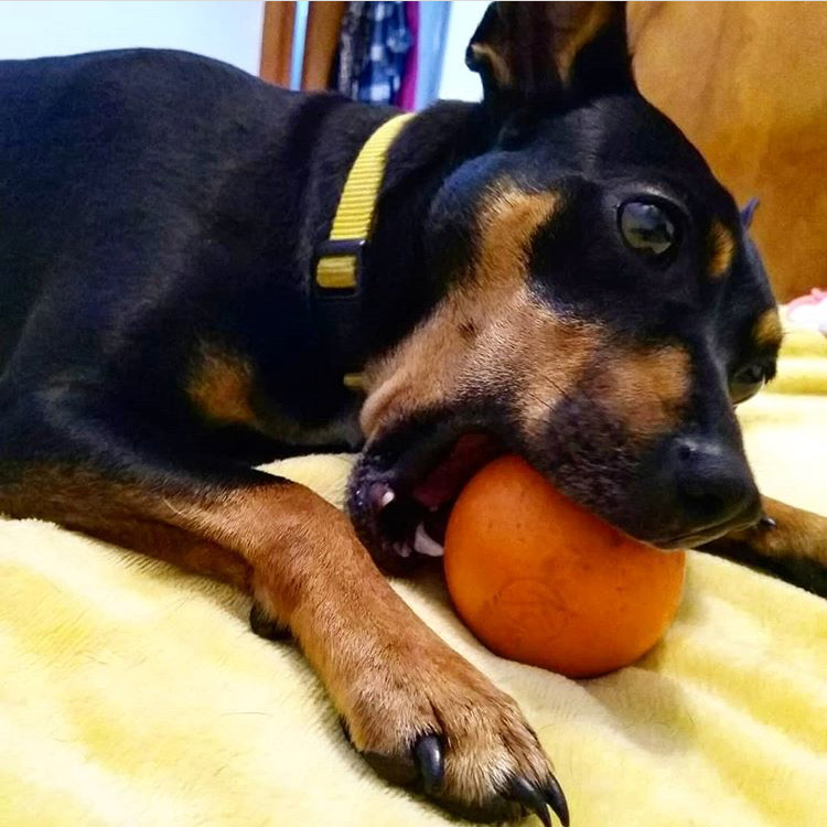Febe is one of our very first customers. She may be small, but Mom says she's quite the power chewer! It's been 10 months now and K9X Ball is holding up far better than any other toy in the house.