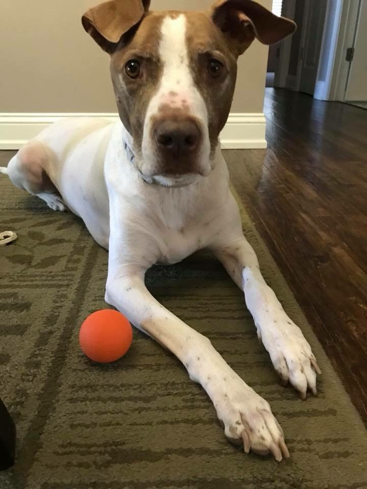 You may recognize Maynard from our Hall of Fame! Yep, he's also in our Happy Customer album. Despite being a Hall of Famer, no other toy even comes close to lasting as long as the K9X Ball when Maynard is chomping on them!