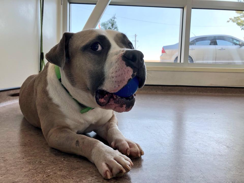 Abel spent some time with our friends at the APA Adoption Center. She thoroughly enjoys her K9X Ball. Good news though: Abel found a home!