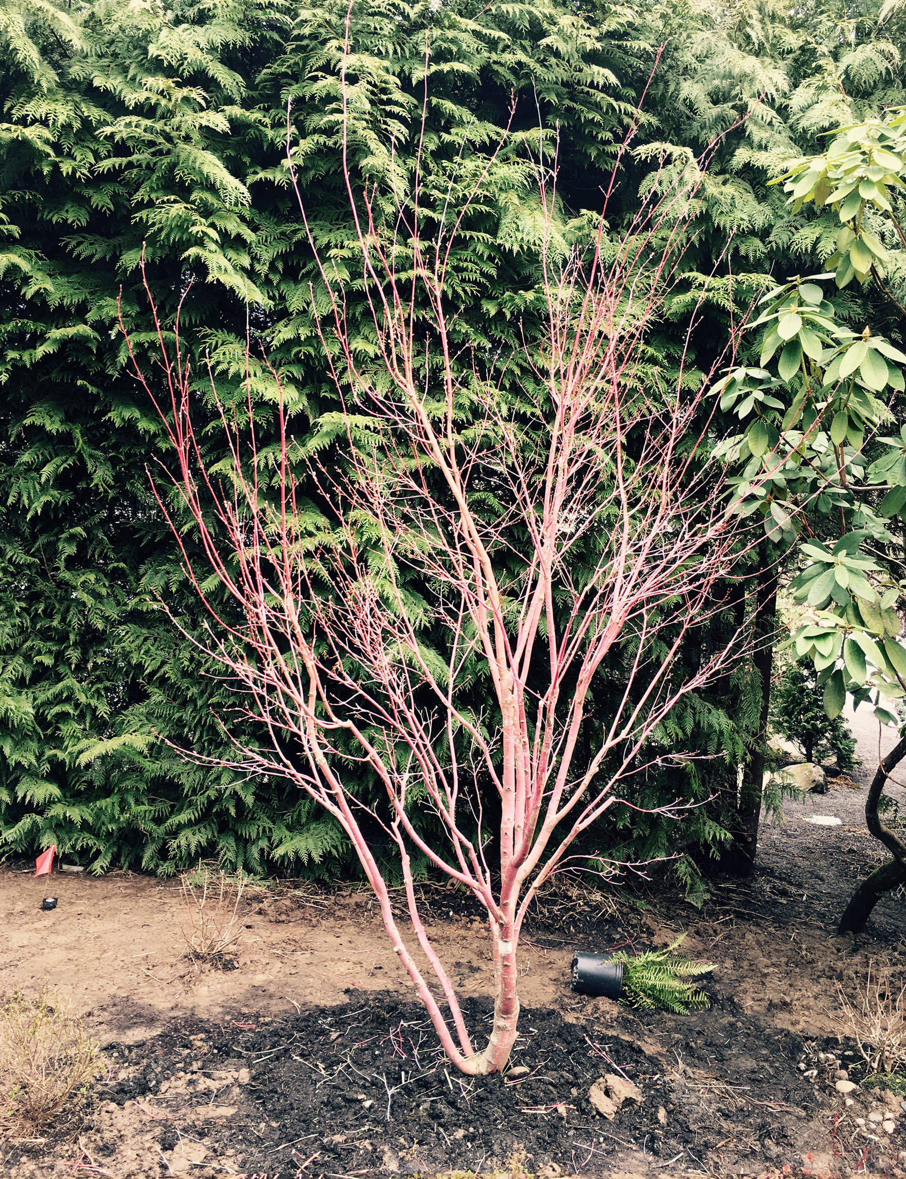 Maple: After Pruning