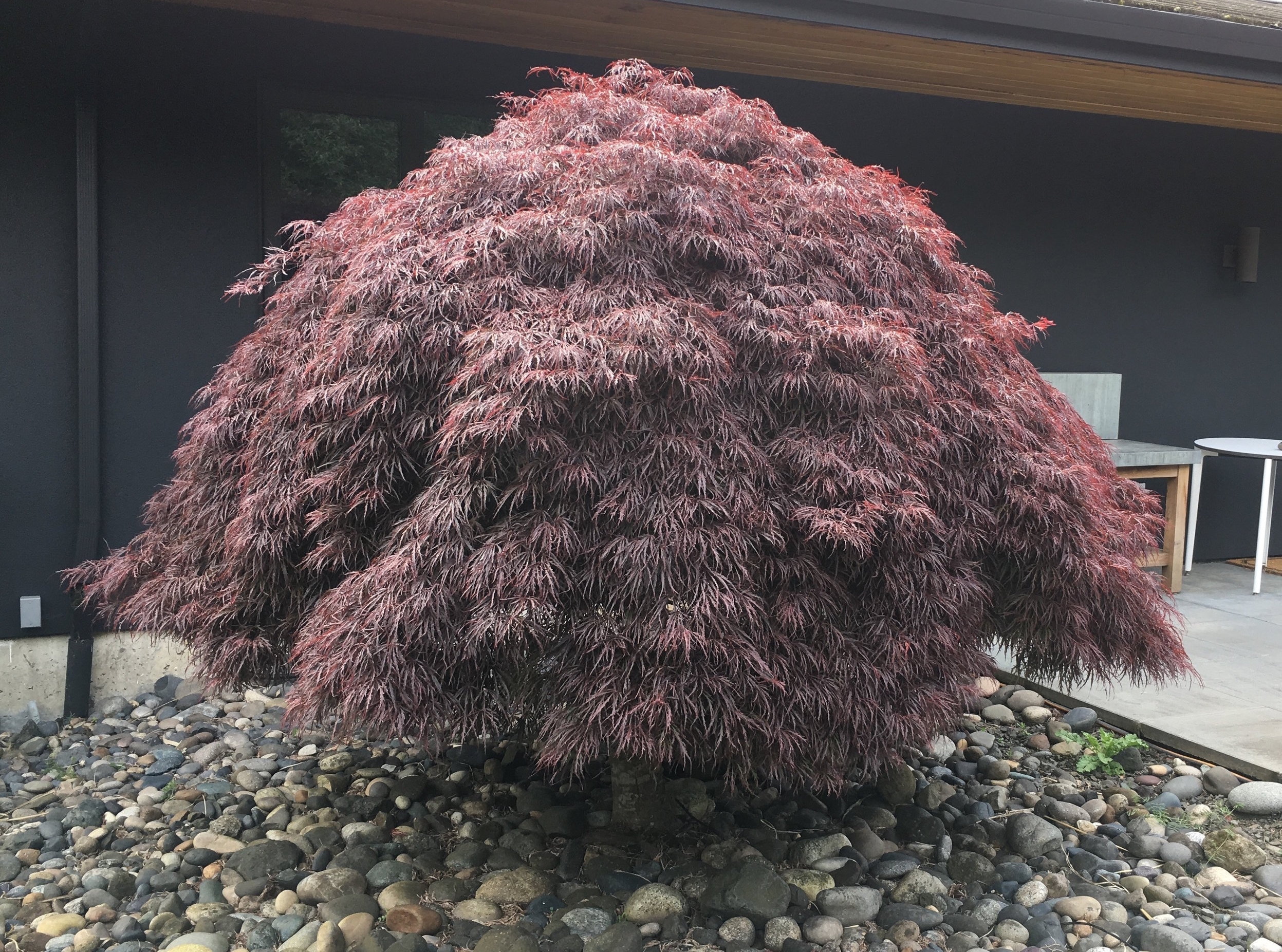 Japanese Maple: Before Pruning