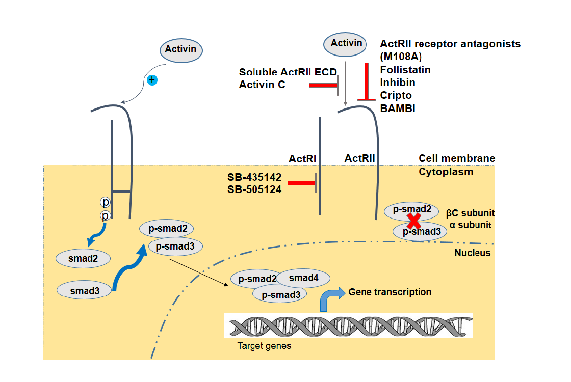 Using an antagonist of activin receptors: ActRII (M108A), follistatin, inhibin, CRIPTO, BAMBI, a soluble receptor ActRII ECD, Activin-C or small-molecule inhibitors of ActRI (SB-431542 and SB-505124) induce a blockade of activin signalling pathway (Harrison et al., 2004, DaCosta Byfield et al., 2004, Inman, 2002, Cheng et al., 2003).