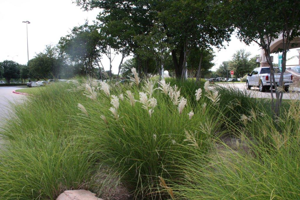 xeriscape grasses