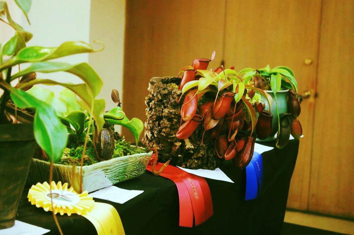 The Display Entry Categories - Category DescriptionVenus Flytrap DionaeaSundew Byblis, Drosera, Drosophyllum, RoridulaButterwort PinguiculaAmerican Pitcher SarraceniaAsian Pitcher NepenthesOther Pitcher Brocchinia, Cephalotus, Darlingtonia, HeliamphoraAquatic Aldrovanda, Genlisea, UtriculariaArrangement Dish garden, TerrariumArt Work ArtRookie award Any catagory - 1st year contestantsProfessional Grower