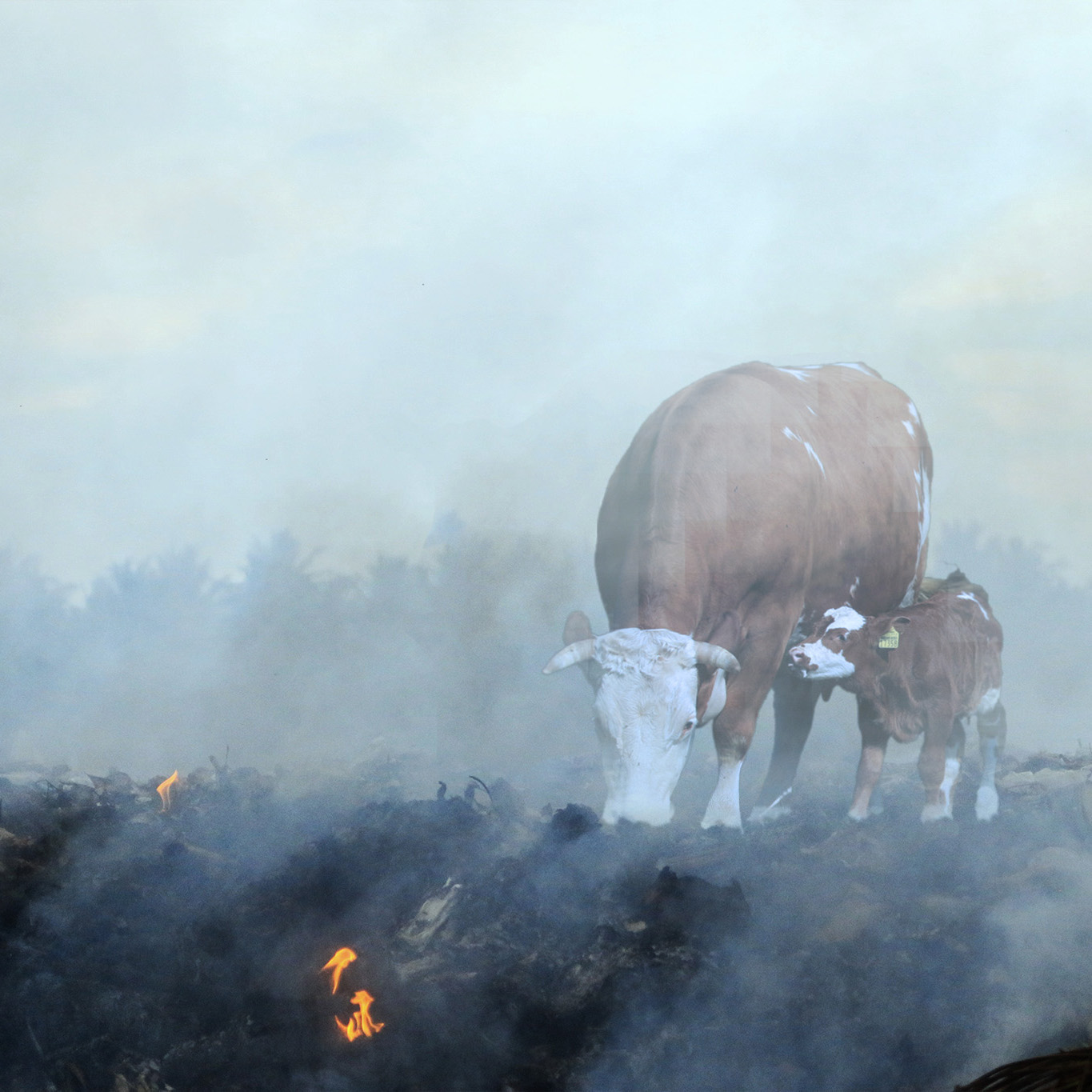 Burning ground & cows.jpg
