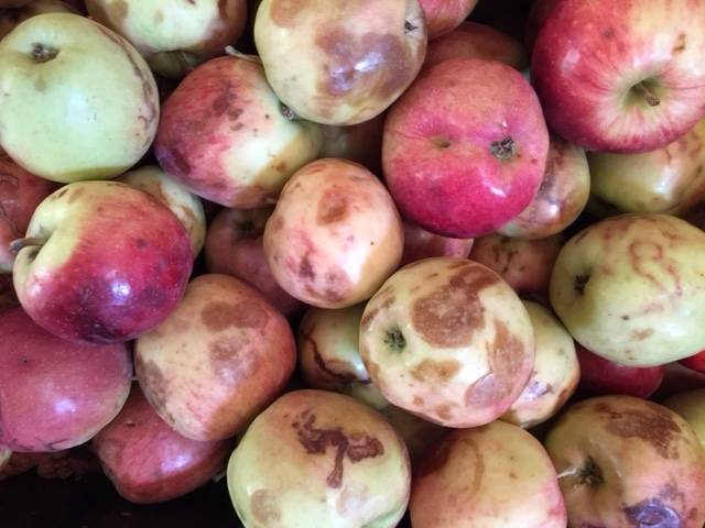 BAD APPLES: excessive bruising, worm infestation, broken skin…..these will be rejected upon drop-off
