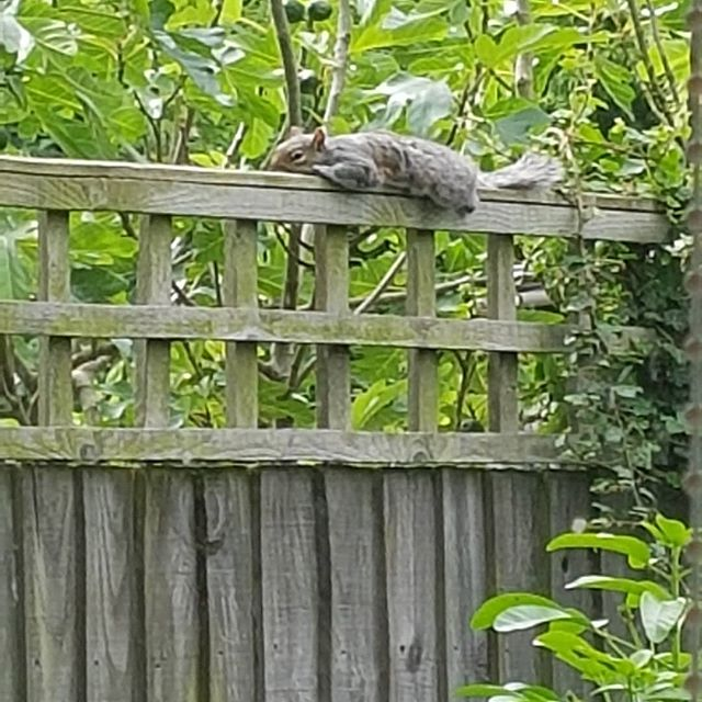 Nap time.. Looks comfy.. (I cant get out to get my big camera without waking the little guy) #squirrel #nap