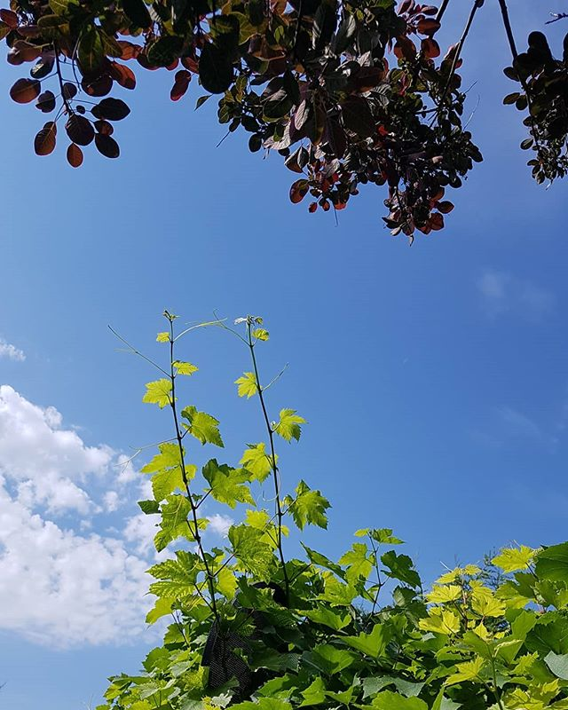 Look at this vine reaching for our tree.. How does it know...?