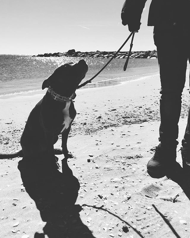 How to beat Monday morning blues!  It takes awhile to learn when & where we can & cannot bring our dogs, but the most important thing is safety. We love to take #rastapastapup and #lolabeanpup to the beach early in the mornings for some open space and calmness. #velvethippo #beachdogs #pitbulllife #rockawaybeach