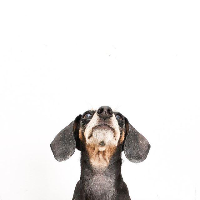 Meet Lulu, resident office dog of our partner, @UhuruDesign. #velvethippofriends #dogsofUHURU #uhurudesign #dachsundsofinstagram #officepets #designmilk #dogmilk