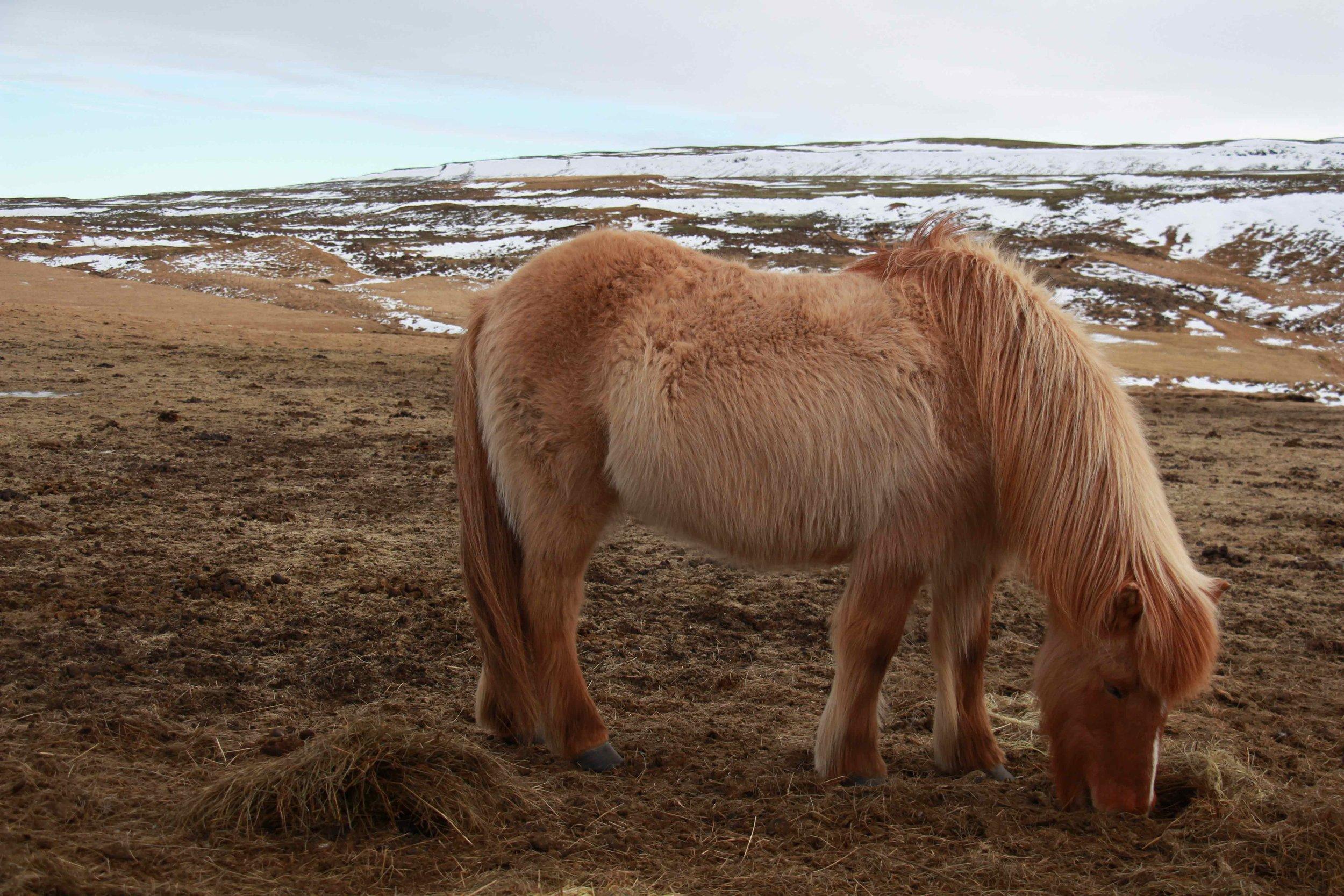 Icelandic horse don heavy winter coats
