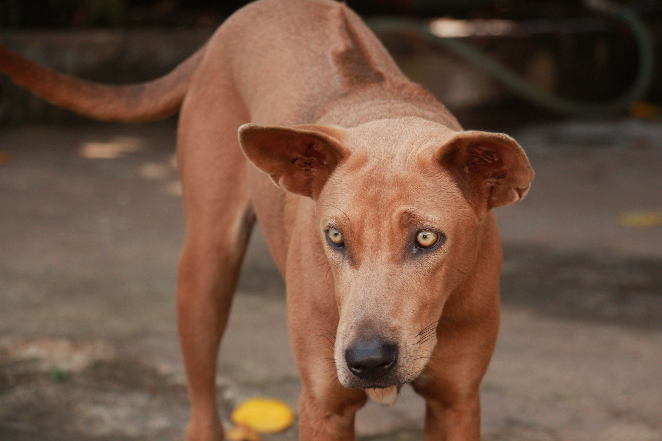 Phu Quocs are known for their sword-like ridgeback on the tops of their backs.